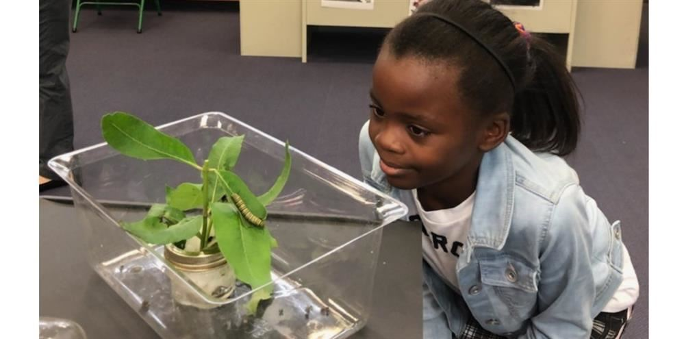 A fourth grade girl is peering at a caterpillar.